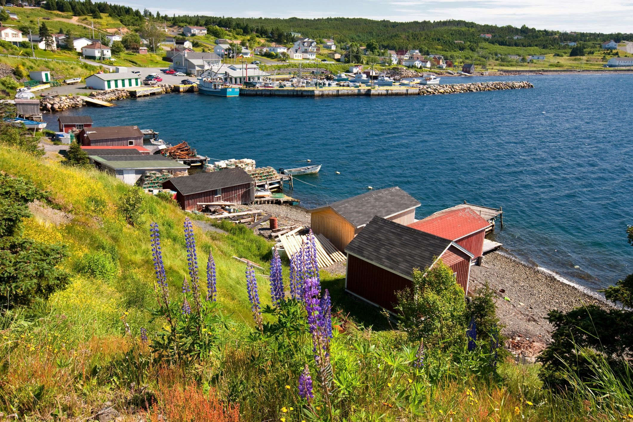 Lupines (Lupinus perennis) and fishing sheds in Dildo Harbour, Newfoundland and Labrador, Canada.