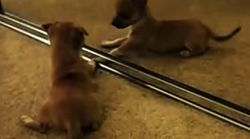 Puppies Discover Their Reflections, Try To Play With New