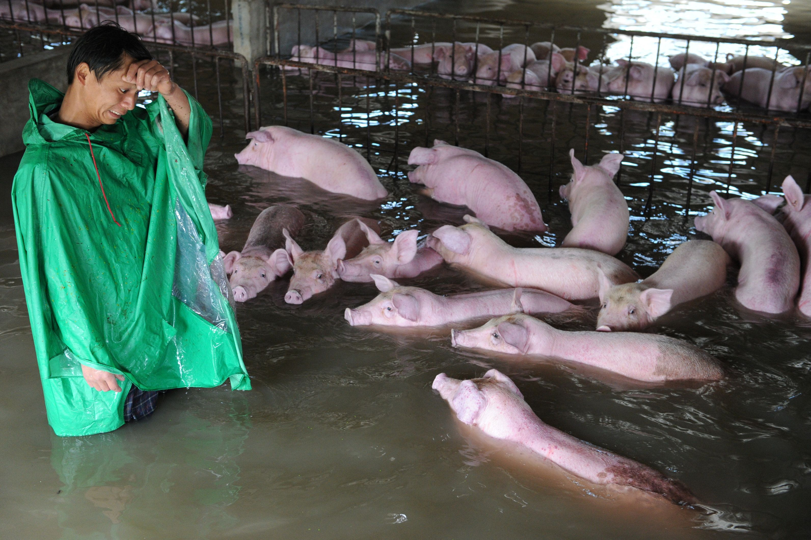 An employee looks at pigs, which cannot be moved away from a flooded farm due to an environmental protection and epidemic prevention measure, before he leaves for a safer place in Liu'an, Anhui Province, China, July 4, 2016. Picture taken July 4, 2016. REUTERS/Stringer ATTENTION EDITORS - THIS IMAGE WAS PROVIDED BY A THIRD PARTY. EDITORIAL USE ONLY. CHINA OUT. NO COMMERCIAL OR EDITORIAL SALES IN CHINA.