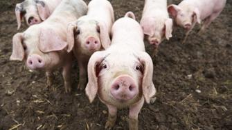 Gloucester old spot piglets outside in mud looking at camera.