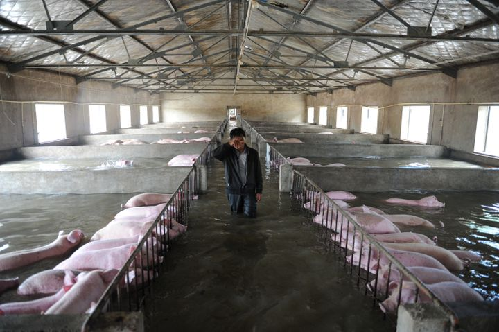 FarmerLi Zuming was photographed weeping as he waded past the partially submerged pigs.
