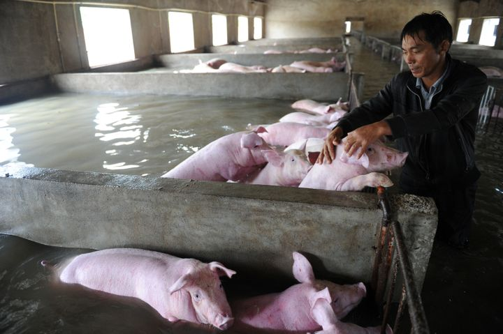 The rescued pigs will likely be sold.