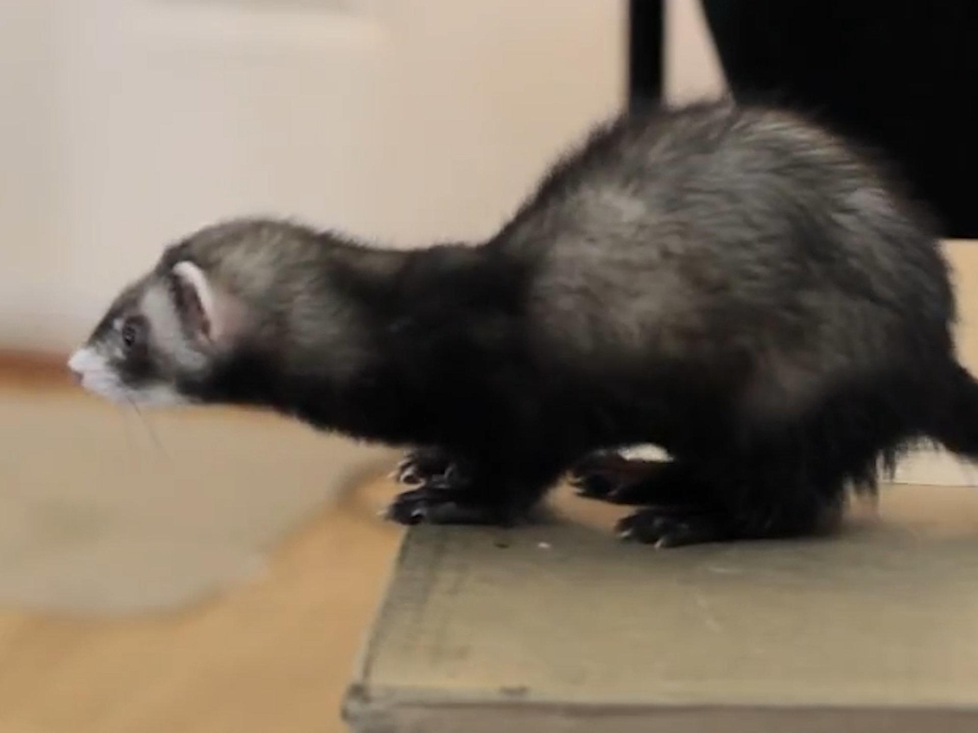 Ferret jump fails