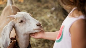 Caucasian girl petting goat on farm