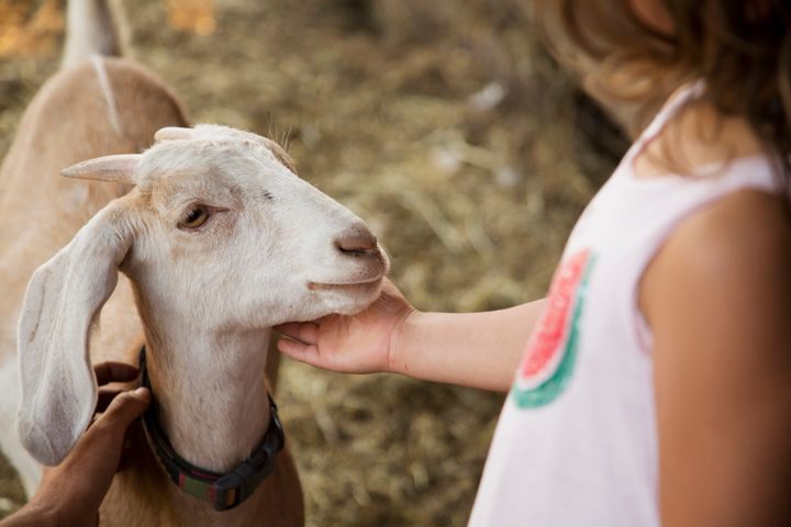 An adorable goat bonds with a human -- or maybe it just wants help with something?