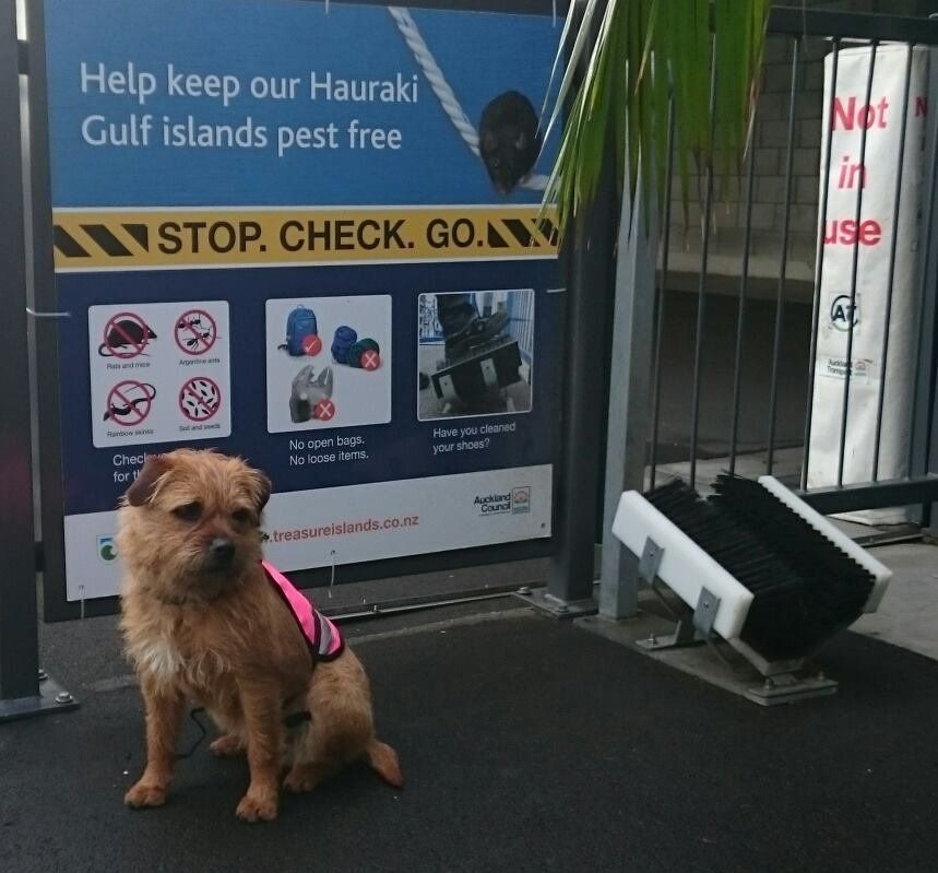 Piri stands guard at an Auckland ferry terminal.