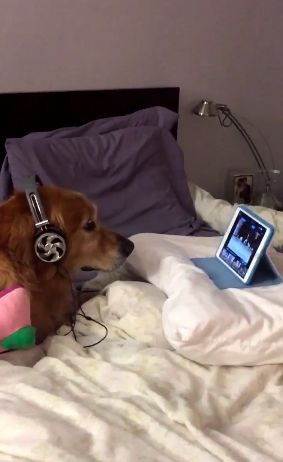 Dog Watches Dog Videos With Headphones On Because He's Scared Of Fireworks