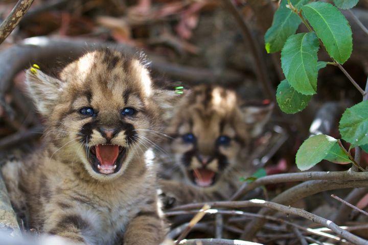 Two female mountain lion kittens in theeastern Santa Susana Mountains in June