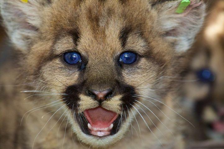 A female mountain lion kitten in theeastern Santa Susana Mountains in June.