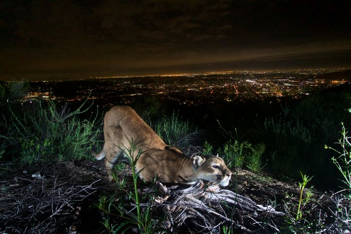An adult female mountain lion in California'sVerdugo Mountains in March 2016.
