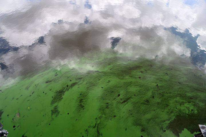 Water in the St. Lucie River is covered by a blue-green algae bloom plaguing the river as it accumulates at the St. Lucie Loc
