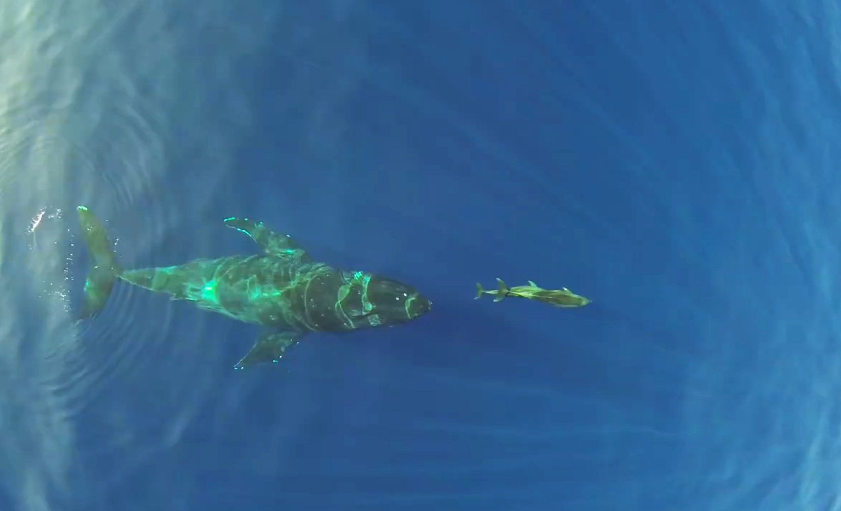 Whales Chase Dolphins In A Playful Game Of