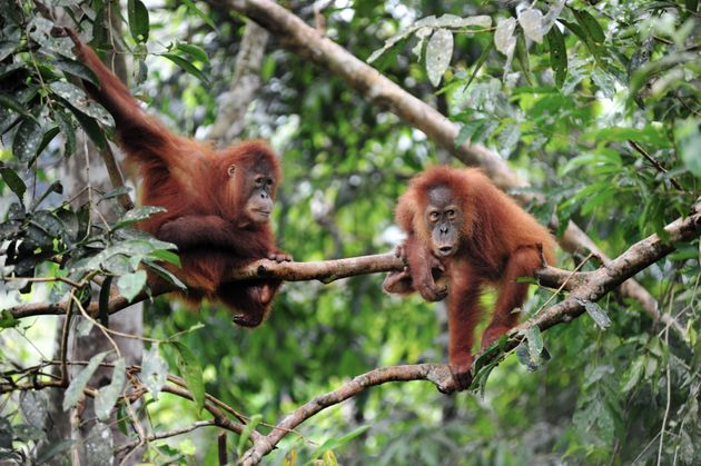 Sumatran orangutans, photographed in February