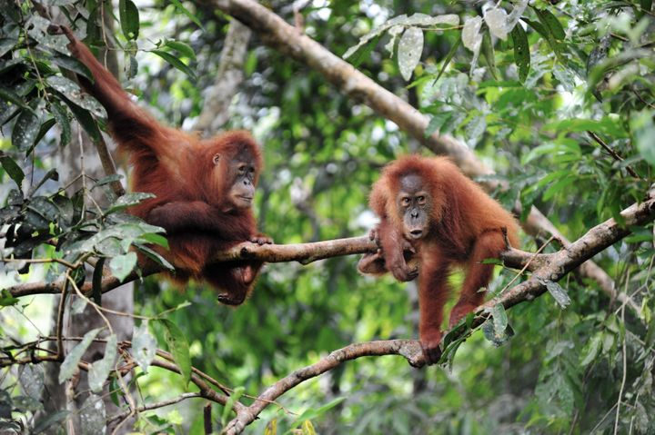 Sumatran orangutans, photographed in February 2016.