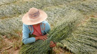 Sacaca, Bolivia - April 15: Female farmer with a sheaf of oats in the Andes of Bolivia on April 15, 2016 in Sacaca, Bolivia. (Photo by Ute Grabowsky/Photothek via Getty Images)
