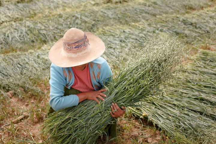 Sacaca, Bolivia - April 15: Female farmer with a sheaf of oats in the Andes of Bolivia on April 15, 2016 in Sacaca, Bolivia.