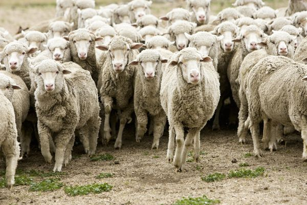 """That was <a href=""""https://www.theguardian.com/world/2015/jan/07/new-zealand-sheep-numbers-fall-to-their-lowest-for-75-years"""""""