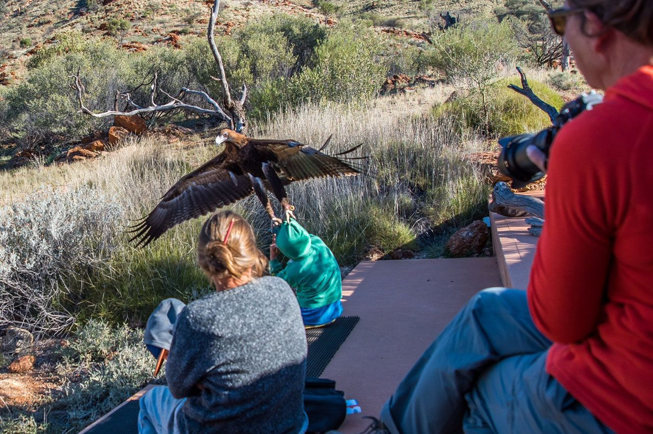 An eagle which swooped down at a boy during a birds of prey show at the Alice Springs Desert Park in Central Australia. See Masons copy MNEAGLE: This is the terrifying moment a young boy was attacked by a wedge-tailed eagle at a birds of prey show.  The boy, believed to be about seven, was left with a bleeding gash on his face after the eagle swooped during a birds of prey show at the Alice Springs Desert Park in Central Australia last week. Horrified witnesses said the boy, who was visiting the animal park with his family from NSW, was wearing a camouflage jacket at the time. Christine O'Connell captured the terrifying moment in a photograph which she later shared online.