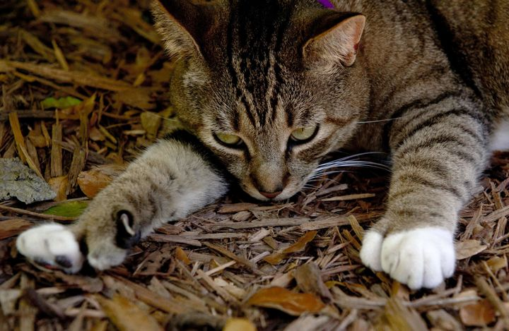 Cat toes checking out the grounds at the Ernest Hemingway home in Key West, Florida.
