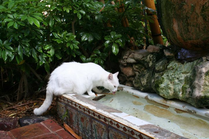 Cat toes accompanying Spencer Tracy (the cat) to the cat fountain,a urinal Hemingway dragged home from his favorite Key West saloon in the 1930s.
