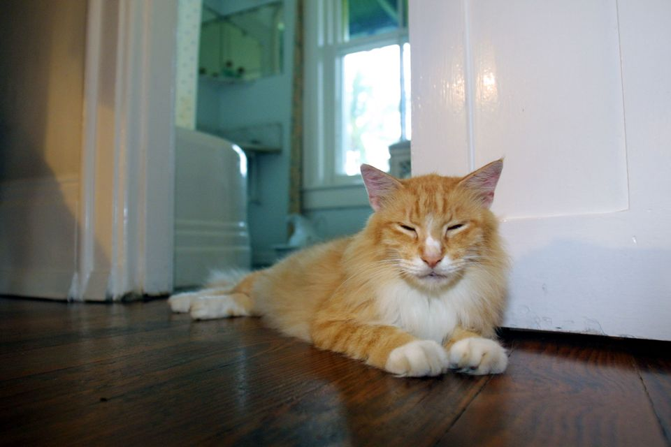 Cat toes attached to a fluffy orange cat in the bedroom of the Ernest Hemingway home in