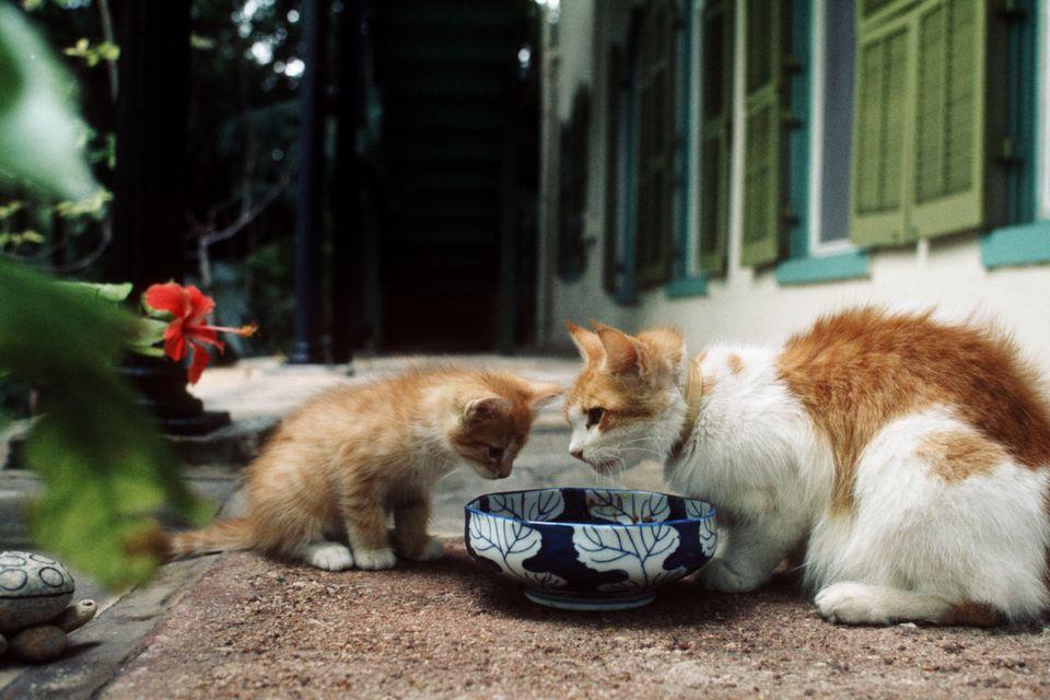 Both descendants of Hemingway's original cats, abig cat teaches a little cat the art of having...