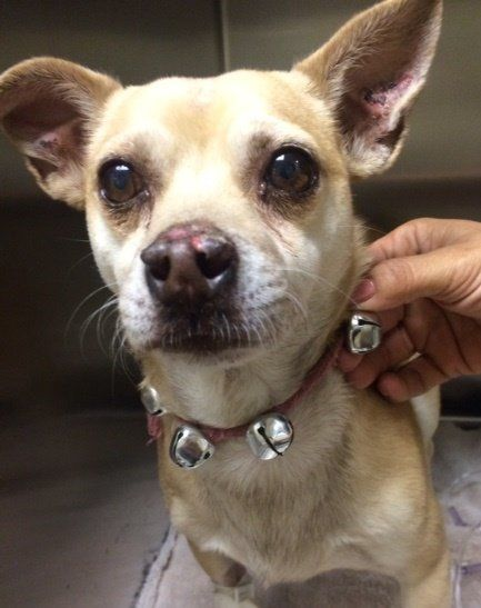 Jack Sparrow, a California Chihuahua, is on the mend after police say he ingested meth.