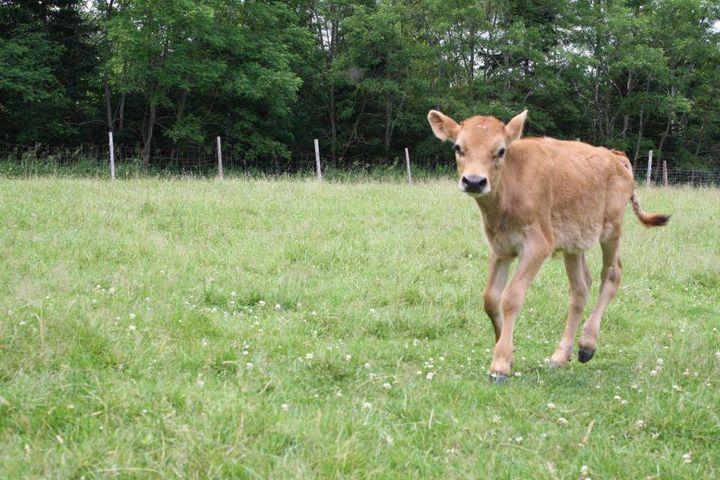 Theo as a calf at Peace Ridge Sanctuary.