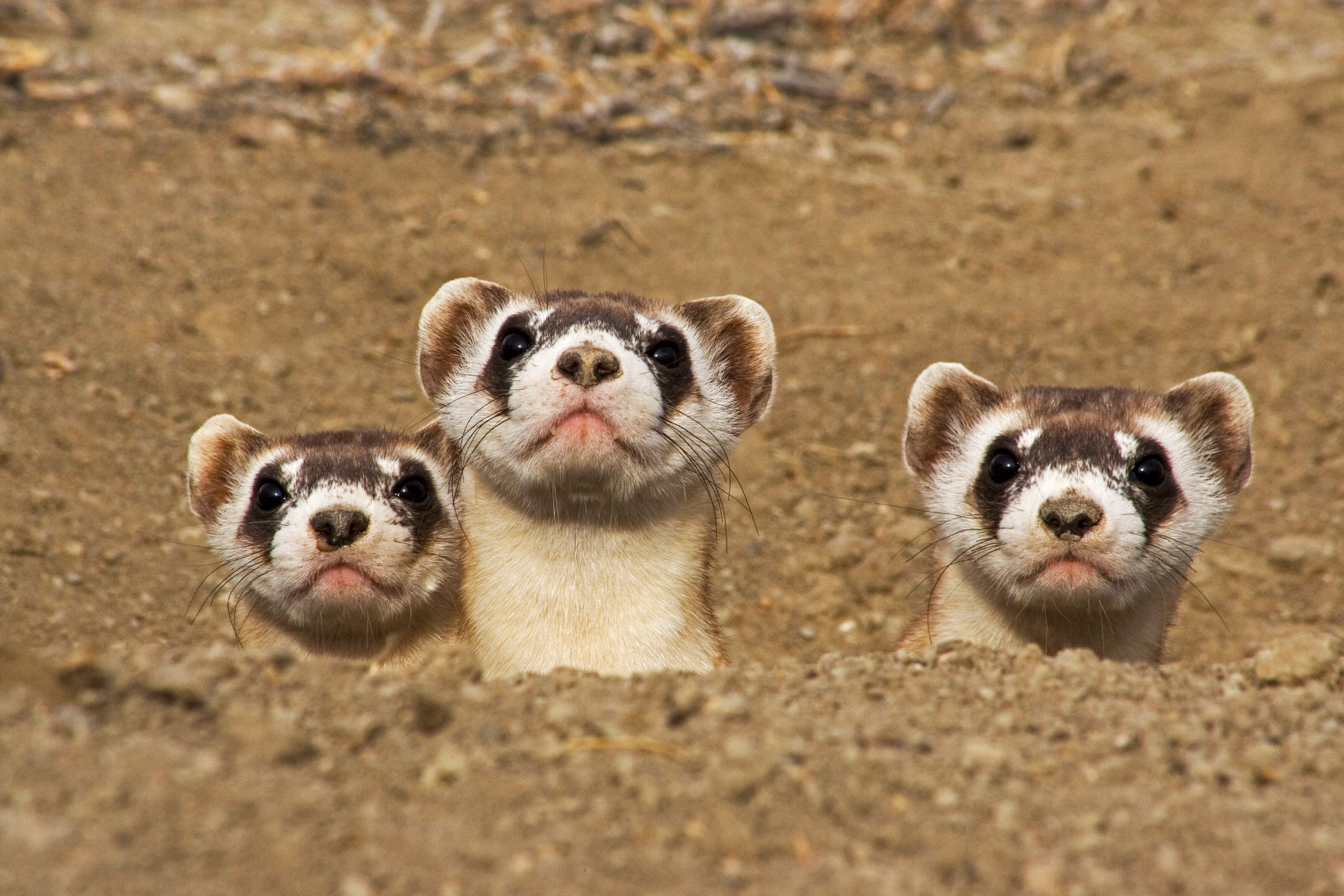 Once thought to be extinct, a remnant population of the endangered black-footed ferret was discovered,...