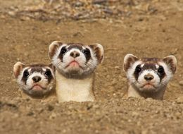 Biologists Hope Candy-Shooting Drones Will Save These Endangered Ferrets