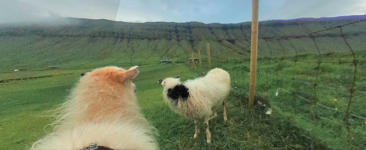 A 360-degree camera captured one sheep catching up with a buddy in a field.