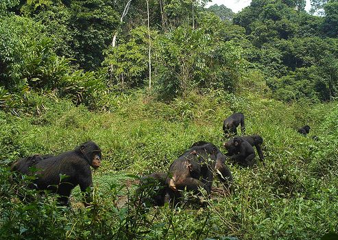 This photo of a group of bonobos was captured by a motion-sensing camera within the boundary of what is now Lomami National P