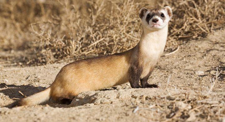 "The population of black-footed ferrets <a href=""https://www.fws.gov/mountain-prairie/factsheets/Black-Footed-Ferret.pdf"" targ"