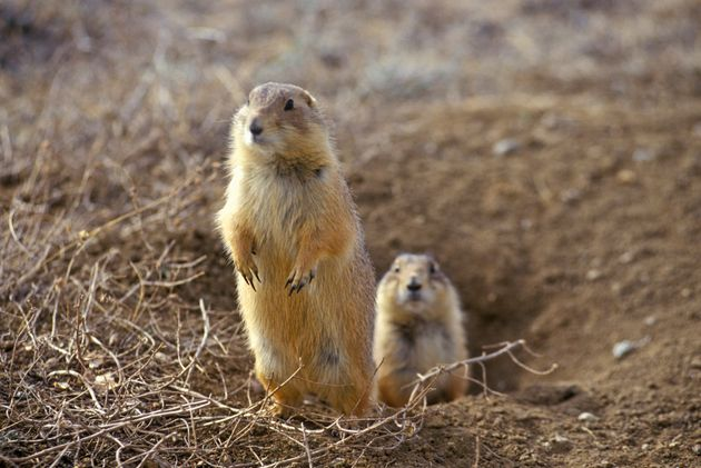 Prairie dogs are the black-footed ferret's primary