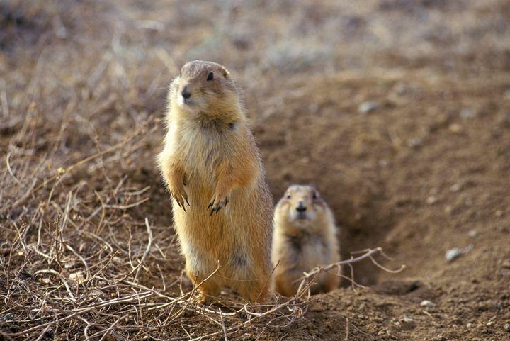 Prairie dogsare the black-footed ferret's primary prey.