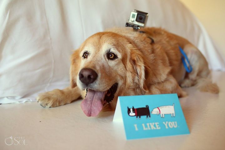"""Zac the golden retriever is the """"house dog"""" at Playa Animal Rescue."""
