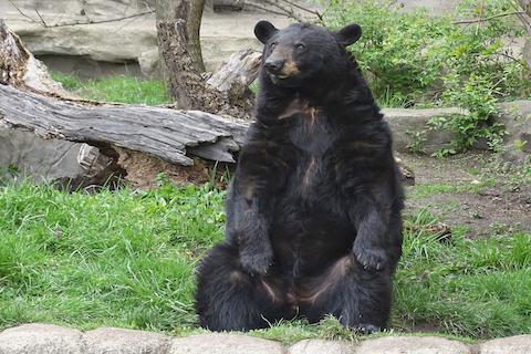 Migwan, a brainy black bear at the Detroit Zoo.