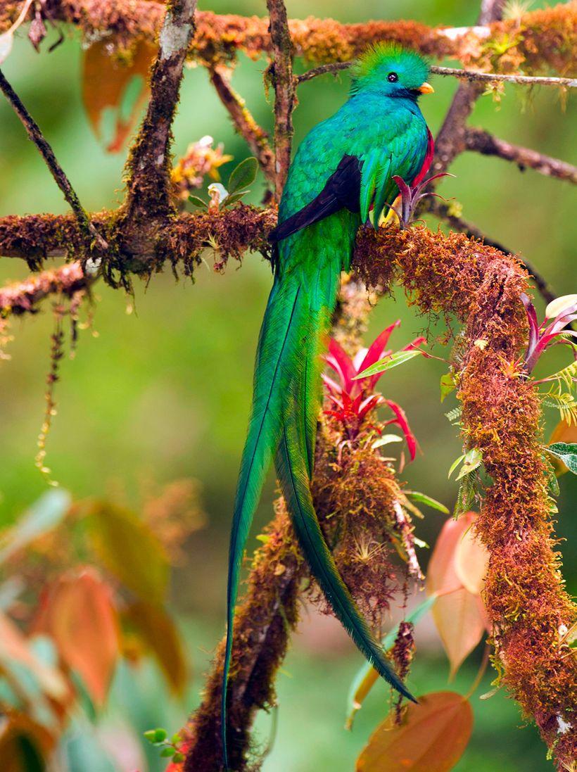<i>Resplendent quetzal</i>
