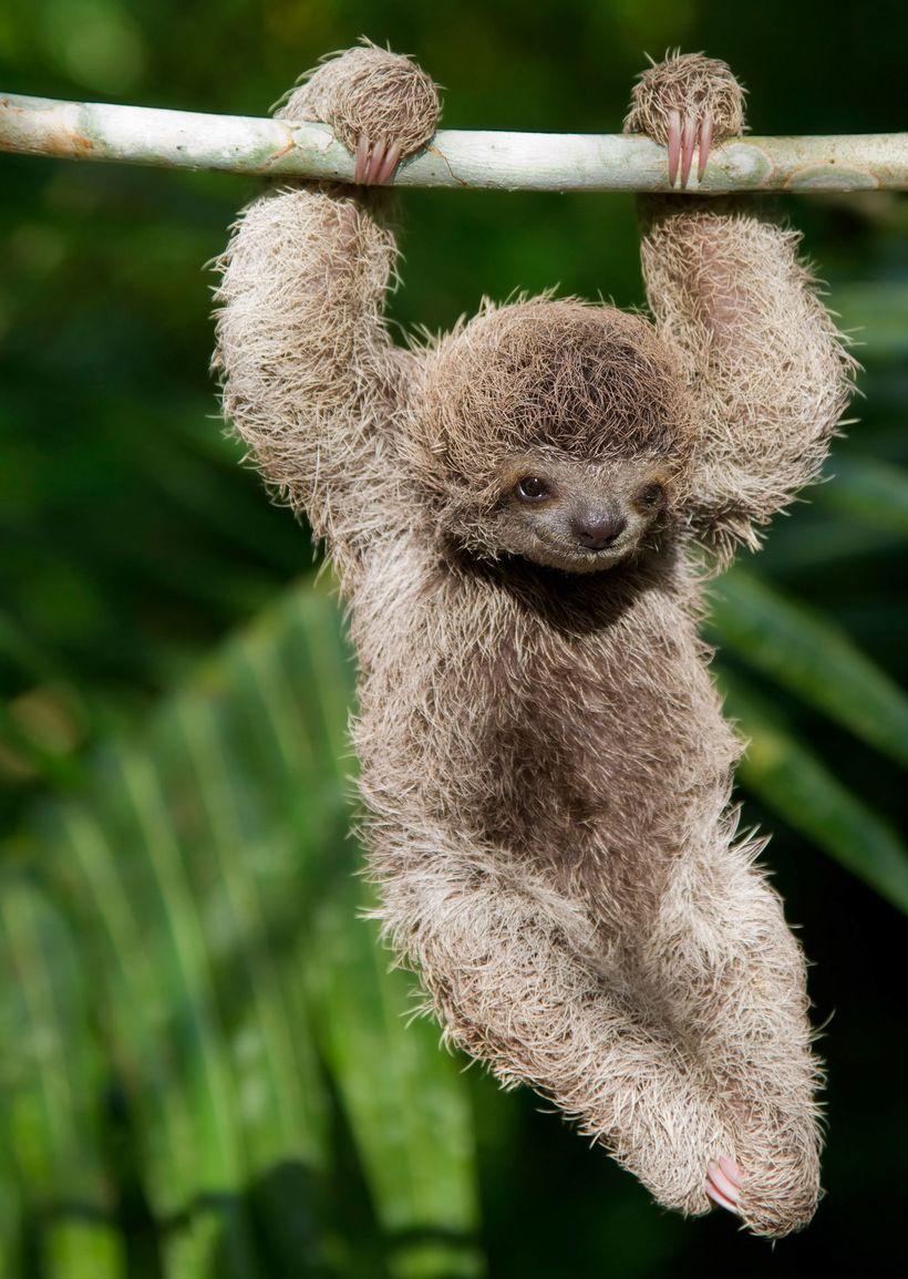 <i>Baby sloth</i>
