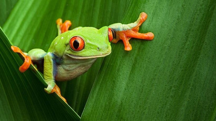 <i>Red-eyed tree frog</i>