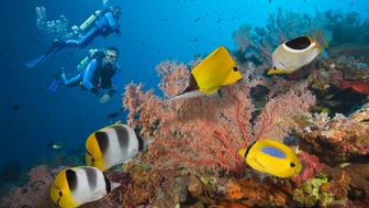 Two Scuba Divers swimming over Colorful Tropical Coral Reef, with two Pacific Double-saddle Butterflyfish (Chaetodon ulietensis), Big Longnose Butterflyfish (Forcipiger longirostris), Blue-spot Butterflyfish (Chaetodon plebeius), and a Saddled Butterflyfish (Chaetodon ephippium),  Great Barrier Reef, Coral Sea, South Pacific Ocean, Australia.  (Digital Composite)