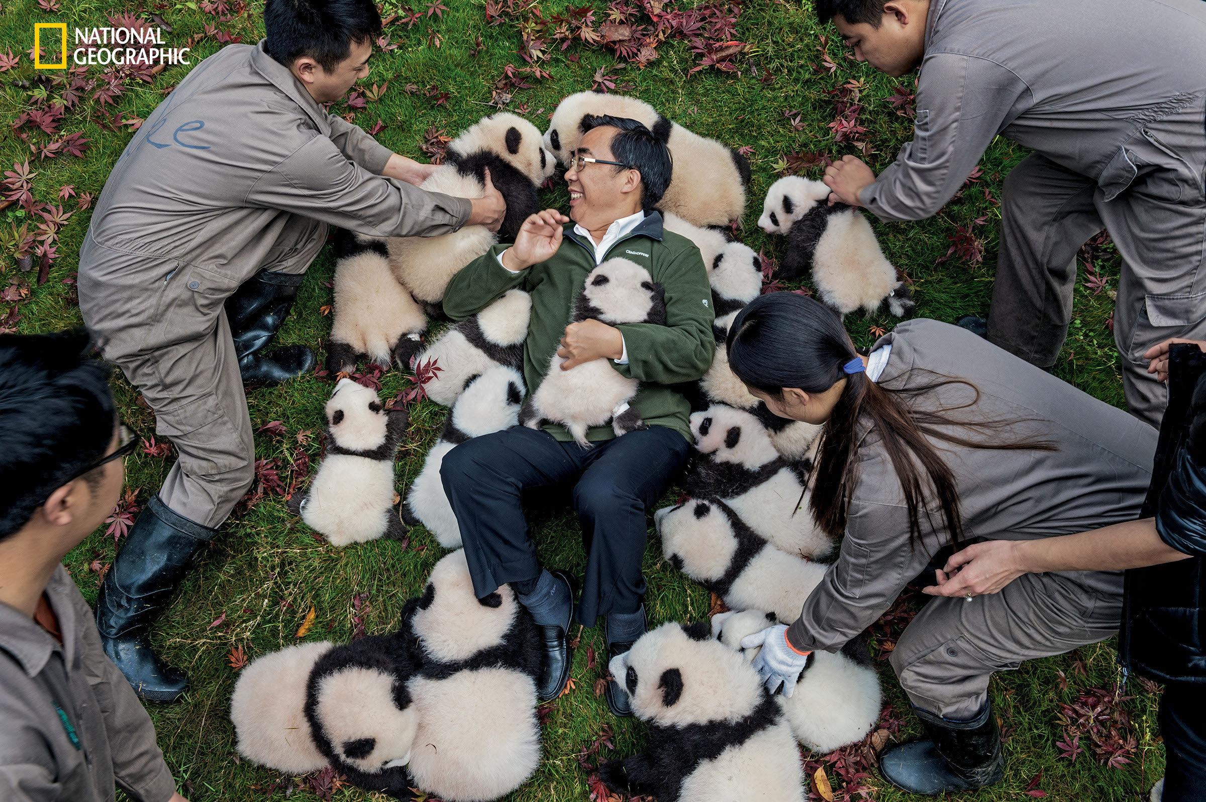 "Zhang Hemin—""Papa Panda"" to his staff—poses with cubs born in 2015 at Bifengxia Panda Base. ""So"