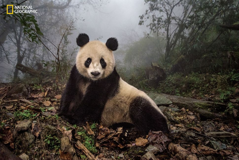 Ye Ye, a 16-year-old giant panda, lounges in a wild enclosure at a conservation center in Wolong Nature Reserve. Her name, wh