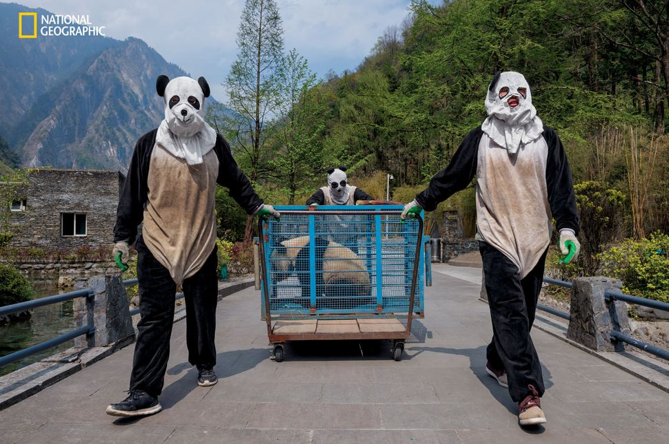"""Wolong Reserve keepers transport Hua Jiao (Delicate Beauty) for a health check before she finishes """"wild training.&rdqu"""