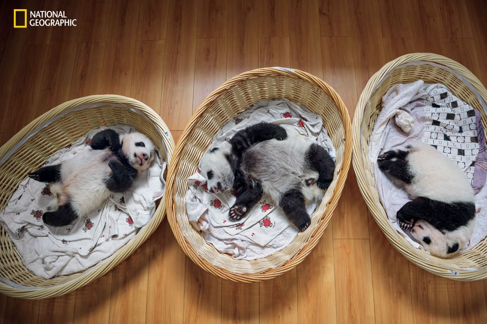 Three-month-old cubs nap in the panda nursery at Bifengxia. A panda mother that bears twins usually fails to give them equal