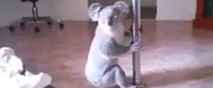 POLE DANCING KOALA