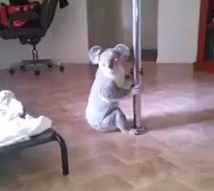 Aqui está o coala que um dia sonhou em ser um verdadeiro 'pole