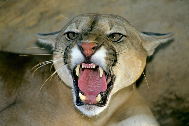 Various sources say pumas have been roaming Dartmoor since they were deliberately released in the area...