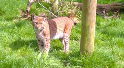 Flaviu the lynx escaped from Dartmoor Zoo earlier this