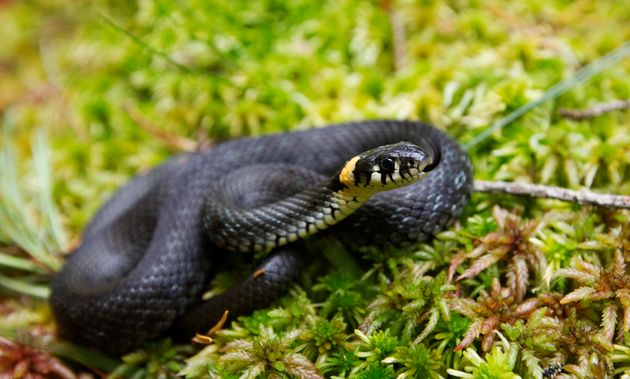 Grass snakes are thriving on north London's Hampstead